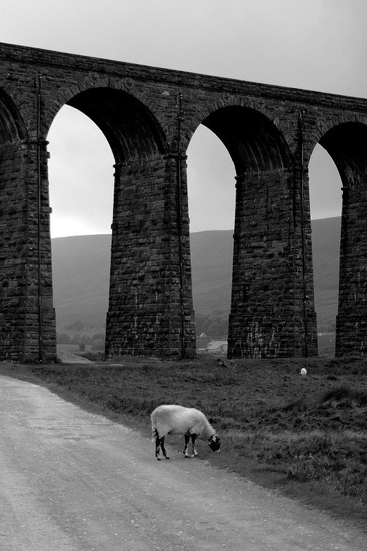 Ribblehead Sheep